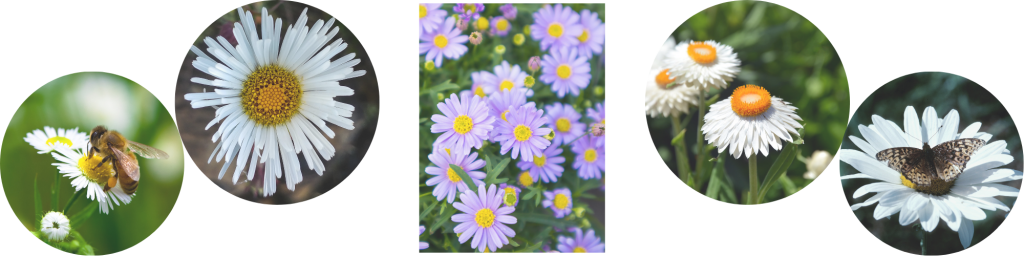 Daisies for Collections (4)